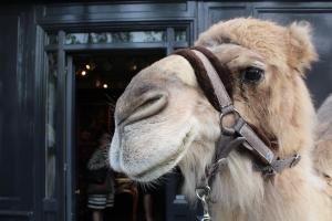 Street Camel